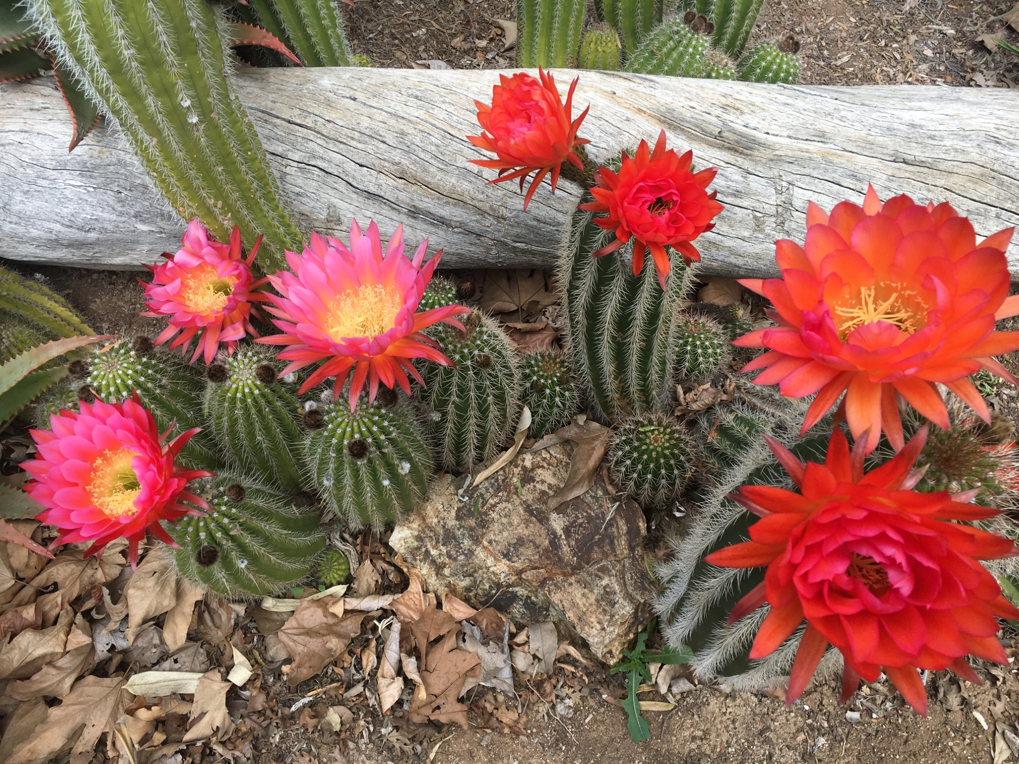 Cactus low to the ground with blooming orange flowers